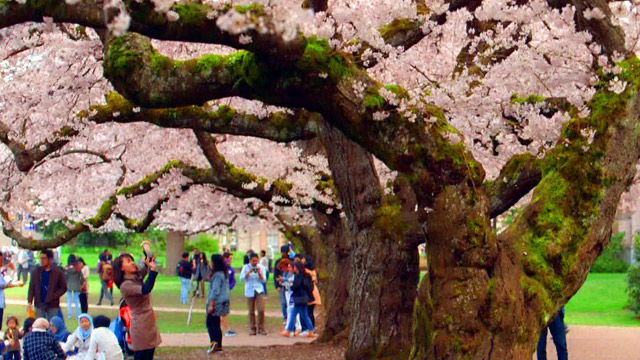 CityStream: Cherry Blossoms History