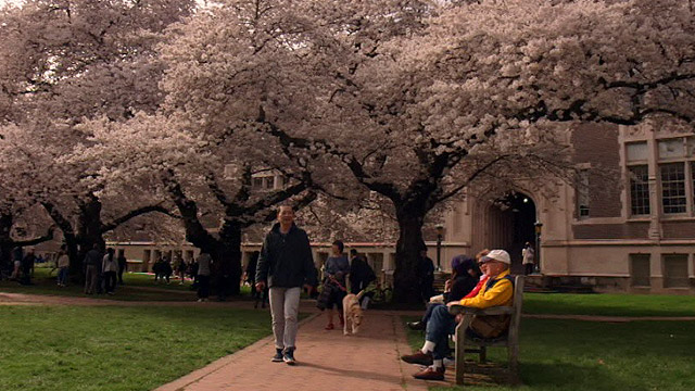 CityStream: Cherry Blossoms